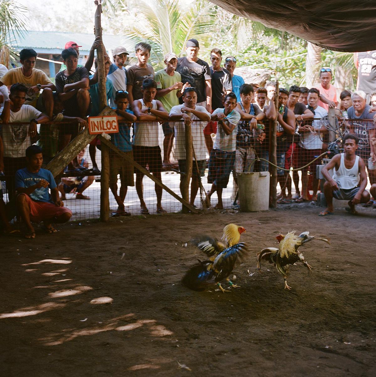 Peleas de gallos arnau elias contrafotografia